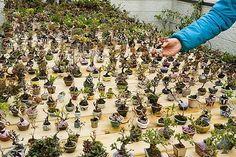 Great collection of Mame bonsai.    Smaller = better?      By: Estavios Bonsai  See: www.bonsaiempire.com #bonsai