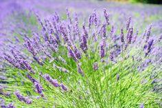 A levendula szaporítása dugványozással - CityGreen.hu Lavender Garden, Lavender Flowers, Purple Flowers, Lavender Scent, Black Eyed Susan, Growing Lavender, Landscaping Work, Mosquito Repelling Plants, Edible Plants