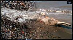 Misteriosa criatura marina encontrada en una playa en Sajalín, Rusia