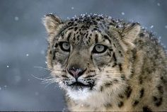 Snow Leopard Hunting - Bing Images