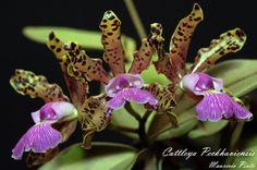 Cattleya Peckhaviensis