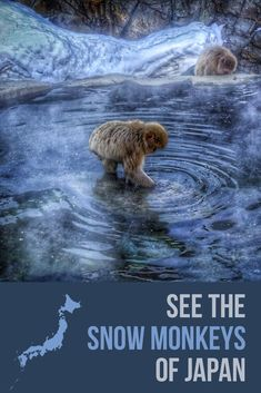 See the Japanese snow monkeys outside of Nagano with this expert how to travel guide and itinerary. Start from Tokyo then make your way to the snow monkeys. Japan Travel Tips, Travel List, Asia Travel, Snow Monkeys, Day Trips From Tokyo, Best Travel Guides, Visit Japan, Nagano, Oh The Places You'll Go