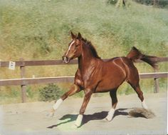 "Clare's Swedish Warmblood mare ""Aurora"" (Rory)"