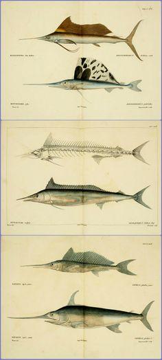 Histoire naturelle des poissons (1828) - Georges Cuvier