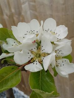 Apple tree blossom s/s16