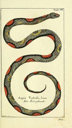 Naturgeschichte des Thierreichs 1780 Glass Lizard Canvas Art - Daniel Sotzmann x Nature Illustration, Botanical Illustration, Poster Print, Snake Art, Beautiful Snakes, Mystique, Snake Tattoo, Le Far West, Reptiles And Amphibians