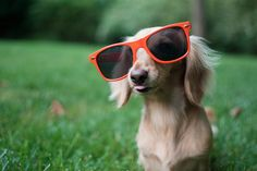 Long-haired dachshund styling in sunglasses. Long-haired dachshund styling in sunglasses. Funny Dachshund, Funny Dogs, Cute Dogs, Dachshunds, Doggies, Top 10 Dog Breeds, Long Haired Dachshund, Hound Dog, Dog Houses