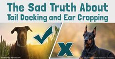 Tail docking and ear cropping continuously performed in the U.S. and Canada, despite veterinary medical associations have taken a stand against them. http://healthypets.mercola.com/sites/healthypets/archive/2016/11/02/dog-tail-docking-ear-cropping.aspx