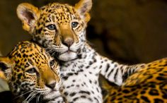 Man Risks Life Saving Leopard Cubs While Their Growling Mother Looks On - An awesome story of animals of different kingdoms supporting one another! Leopard Cub, Kinds Of Cats, Pet News, Animal Rescue Site, Animal Totems, Leopards, Cute Animal Pictures, Animals Of The World, Animal Rights