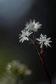 マッチョさんの山野草 セリバオウレン・・・『ちさの庭』