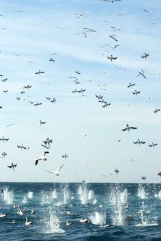 Birds diving for sardines during the sardine run off the east coast of South Africa, usually in June & July. A sight to behold!