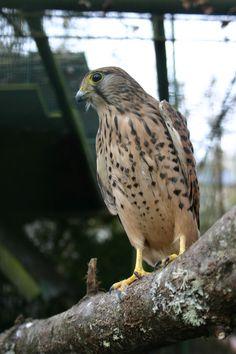 Ejemplar de cernícalo en el parque zoológico ornitológico de Avifauna Lugo.
