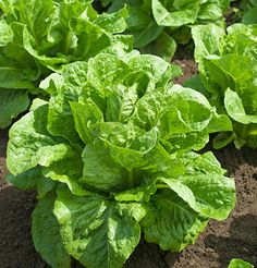 Ridgeline organic lettuce seed - Best Romaine hearts , grows best in soil temp of 60 to 65 degrees. 500 seeds for $4.10 in july 2015 product # 2536g jonnys selected seed company Click here to view larger image