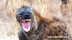The maniacal laughing of hyenas is one of Africa's most recognizable sounds. Why do hyenas laugh? What does a hyena laugh mean? Do all species of hyenas laugh? In this post, we'll answer these questions and more. Animals And Pets, Funny Animals, Brown Hyena, Striped Hyena, Lion King Jr, Gorilla Trekking, Birds In The Sky, Africa Destinations, Owls