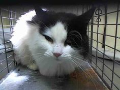 TO BE DESTROYED 12/2/14 *NYC* GORGEOUS ABANDONED KITTY! * Staten Island Center ** No profile left due to animal being a stray. Cat appears friendly and I was able to scan and collar during intake. *  My name is LILLY. My Animal ID # is A1021003. I am a female black and white domestic mh mix. I am about 4 YEARS old.  I came in as a STRAY on 11/18/2014 from NY 10309, ABANDON.