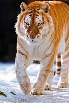 Golden tiger walking in the snow The most powerful of them all