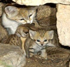 Love the sand cat kittens!!