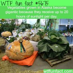 Why vegetables grown in Alaska become gigantic - WTF fun fact