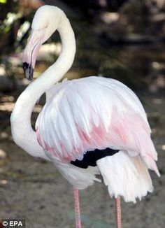 Difficult decision: Staff at Adelaide Zoo yesterday put Greater down, their 83-year-old flaming - they've had her since 1933 but not sure where she came from.