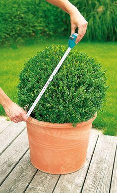 Kleine Frisörschule für Hobby-Gärtner: Wir zeigen, wie man Buchsbäume richtig zurecht schneidet. #Garten
