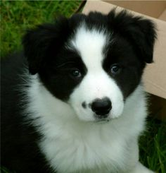 Border Collie Puppies | Rough coated Border collie puppies for sale, black and white border ...