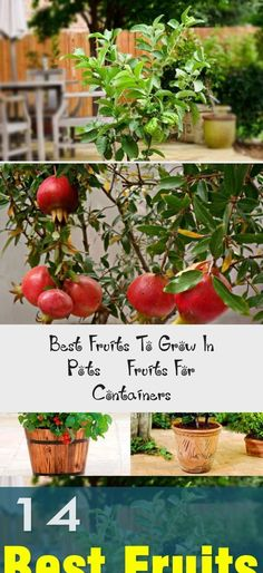 Not only the vegetables but fruits can be grown in pots too. Here are 14 best fruits to grow in containers. Not only the vegetables but fruits can be grown in pots too. Here are 14 best fruits to grow in containers. Growing Strawberries In Containers, Growing Raspberries, Growing Tomatoes In Containers, Citrus Trees, Peach Trees, Fruit Trees, Potted Strawberry Plants, Strawberry Pots, How To Grow Watermelon