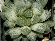Succulent Plant Information: Haworthia cooperi v.pilifera variegated form from ...