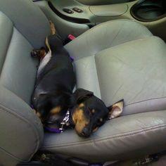 sleepy dachshund -- too precious!
