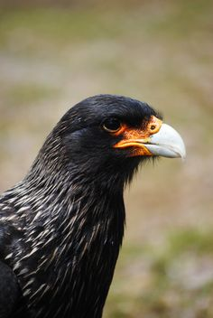 Striated Caracara closeup in the Falkland Islands print available on Etsy.
