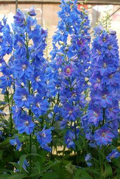 veronica peduncularis or umbrosa georgia blue plant id. Black Bedroom Furniture Sets. Home Design Ideas