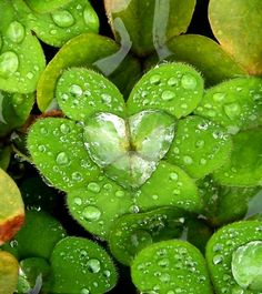 Clover with raindrop heart....