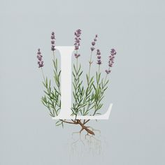 L is for lavender #homesfornature Illustration by Charlotte Day