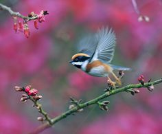 Beautiful Bird Photography 如如美學 / John & Fish Gallery 台北市 大直 明水路672巷27號 No.27, Lane.672, Mingshui Road Taipei Taiwan  Red-headed Tit, taken at DaSyueShan Trail, Taichung County, TAIWAN