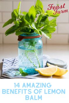 Lemon balm is an amazing support for the body! Discover 14 amazing ways it works and how to make a tea, too! #lemonbalm #lemonbalmtea #lemonbalmtearecipe