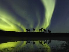 Horses under the Aurora Borealis Photographic Print - AllPosters.co.uk