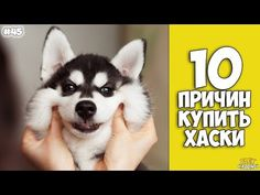 10 Reasons To Buy A Husky - Interesting facts! Husky Mix, Dogs, Youtube, Animals, Life, Animales, Animaux, Animal Memes, Animal
