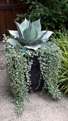 Container Creativity in BC Fine Gardening Succulents In Containers, Container Plants, Cacti And Succulents, Planting Succulents, Container Gardening, Planting Flowers, Gardening Vegetables, Pot Jardin, Agave Plant