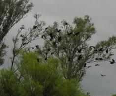 Una visita inesperada. Bandurrias por decenas llegaron después de la lluvia. El cielo aún estaba cubierto de nubes