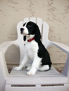 Lexie 14 week old (16 pounds) black and white English springer spaniel puppy
