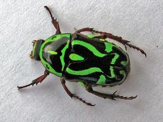 Green Fiddler Beetle (Chafer Beetle), Eupoecila australasiae - shiny hard body with green and black markings in a symmetrical pattern Vans Vw, Insect Photos, Cairns Australia, Cool Bugs, Airlie Beach, Beetle Bug, Beautiful Bugs, Insect Art, Bugs And Insects