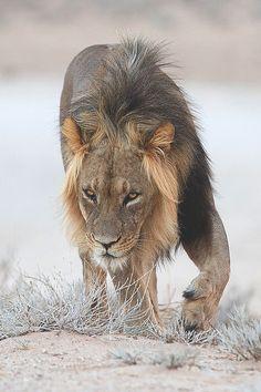 thegiftsoflife: Kalahari Lion on patrol  by Hendri Venter on Fivehundredpx