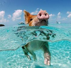 swimming-pig