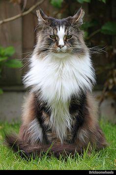 """Gato con mirada penetrante. fotografía """"Maine Coon Mario"""" de Bricksonwheels"""