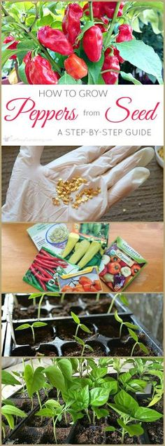 Peppers are easy to grow from seed, and can be started indoors 8-12 weeks before last frost. Here's a complete guide for growing peppers from seed.