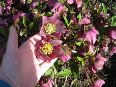 Can you ever have too many hellebores?  I don't think so!