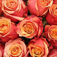 Roses - Cherry Brandy - 100 Stems - Sam's Club $108.98