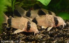 Corydoras panda - Panda Cory We've got 5 of these, It's so awesome when they freak out for the surface.