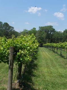 Irvin-House Vineyards on Wadmalaw Island just south of Charleston, SC... their tasting tour is not to be missed (muscadine grape wine) #charleston #southcarolina