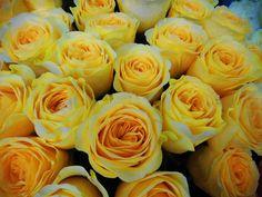 💛 Beautiful Yellow Roses 💛 #yellowflowers #yellowrose #roses #loveroses #yellow #flowershots #flowerlovers #flowers #yellowcolor #colour #inspiration #yellowbouquet #bouquetrose #bouquet #creativity #floristshop #thessaloniki #greece #anthos_theartofflowers Yellow Bouquets, Thessaloniki, Colour Inspiration, Rose Bouquet, Yellow Flowers, Flower Art, Greece, Creativity, Plants