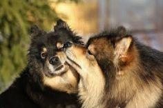 Finnish Lapphund Aho Girl, All Dogs, My Eyes, Doggies, Fur Babies, Dog Cat, America, Cats, Animals